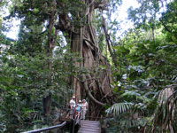 Minnamurra Rain Forest of Giant Trees